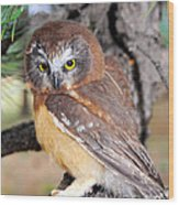 Saw-whet Owl In Conifers Wood Print