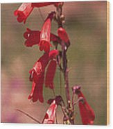 Scarlet Colorado Penstemons Wood Print