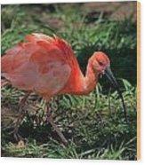 Scarlet Ibis Hybrid Wood Print