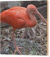 Scarlet Ibis One Legged Pose Wood Print