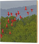 Scarlet Ibis Wood Print by Tony Beck