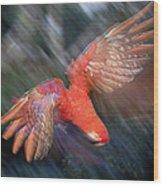 Scarlet Macaw Flying Amazon Basin Peru Wood Print
