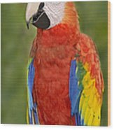 Scarlet Macaw Parrot Wood Print