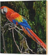 Scarlet Macaw Perched Wood Print