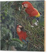 Scarlet Macaws In Rainforest Canopy Wood Print