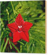 Scarlet Morning Glory - Horizontal Wood Print