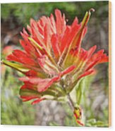 Scarlet Paintbrush Along John's Lake Trail In Glacier Np-mt Wood Print