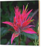 Scarlet Paintbrush On Swiftcurrent Pass Trail In Glacier National Park-montana Wood Print
