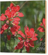 Scarlet Paintbrush. Texas Wildflowers. Castilleja_indivisa Wood Print