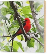 Scarlet Tanager - 19 Wood Print