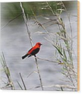Scarlet Tanager - Coastal - Migration Wood Print