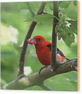 Scarlet Tanager - Fallout Wood Print