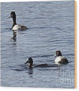 Scaup Ducks In The Spring Wood Print