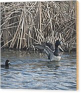 Scaup Show Off Wood Print