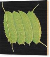 Scenedesmus Algae, Sem Wood Print