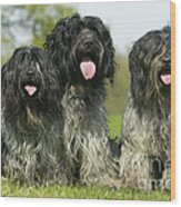 Schapendoes, Or Dutch Sheepdogs Wood Print