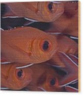 School Of Red Soldierfish Wood Print