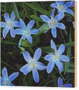 Scilla Flowers In The Morning Wood Print