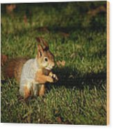 Sciurus Vulgaris In Evening Light Wood Print