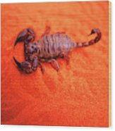 Scorpion Red Sand Sting Insect Wood Print