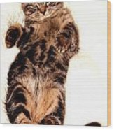 Scottish Fold On Back 1a Wood Print