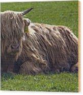 Scottish Highland Cattle 3                          Wood Print