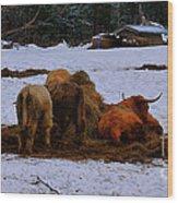 Scottish Highland Cattle Wood Print