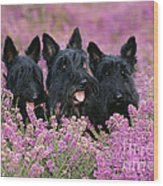 Scottish Terrier Dogs Wood Print