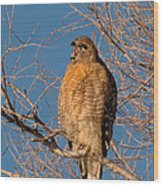 Screeching Red-shouldered Hawk Wood Print