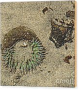 Sea Anenome Half Buried In The Sand Wood Print by Artist and Photographer Laura Wrede
