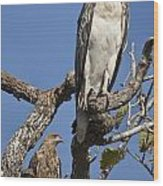 Sea Eagle And Brown Kite Sharing A Tree Wood Print