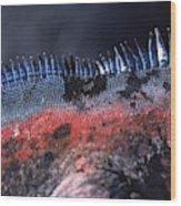 Sea Iguanas On Santiago And Floreanas Wood Print