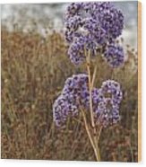 Sea Lavender In La Jolla Wood Print