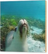Sea Lion Bubble Blowing Wood Print