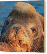 Sea Lion Wood Print