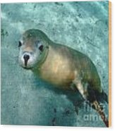 Sea Lion On The Seafloor Wood Print