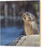Sea Lion Resting Wood Print