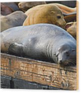 Sea Lions At Pier 39 In San Francisco Wood Print