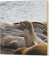 Sea Lions Sunning On Barge At Pier 39 San Francisco Wood Print