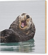 Sea Otter Scratching Head And Yawning Wood Print
