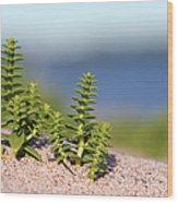 Sea Sandwort Wood Print