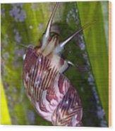Sea Snail On Seagrass Wood Print
