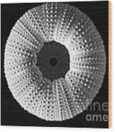 Sea Urchin In Black And White Wood Print