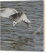 Seagull Dive Wood Print