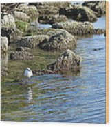 Seagull In The Water Wood Print