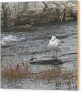 Seagull On Rock Wood Print