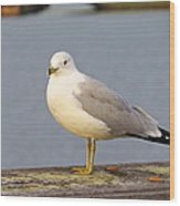 Seagull Posing Wood Print