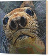 Seal Pup Wood Print