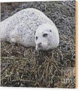 Seal Resting In Dunvegan Loch Wood Print