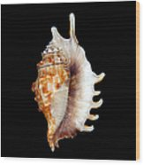 Seashell Lambis Digitata Wood Print